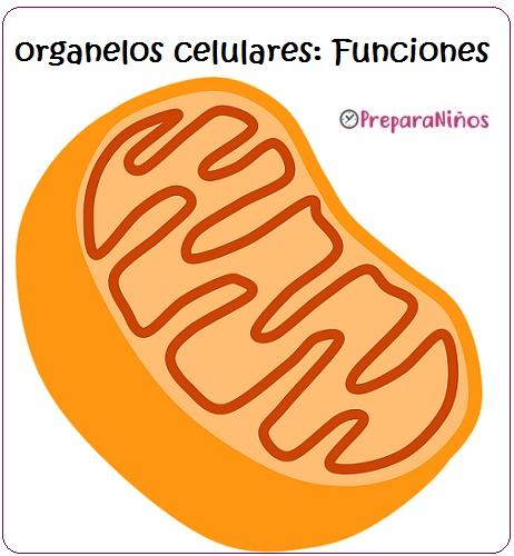 Organelos celulares: caracteristicas y funciones de los organelos celulares para niños