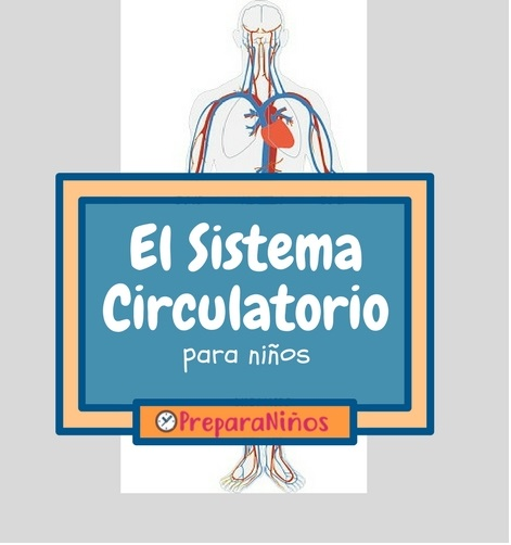 El Sistema Circulatorio para Niños