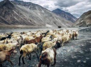 Glaciares del Himalaya Nubra