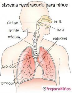 El Sistema Respiratorio para niños de primaria