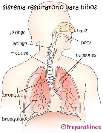 Los Sistemas de Nutrición para niños: El Sistema Respiratorio
