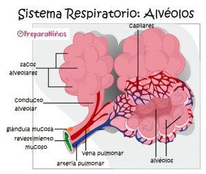 Sistema Respiratorio para Niños: Qué son los alvéolos pulmonares
