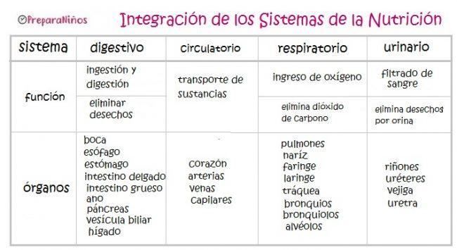 Relación entre los sistemas digestivo, respiratorio circulatorio y excretor
