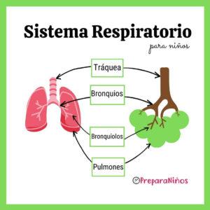 Imágenes del sistema respiratorio para niños