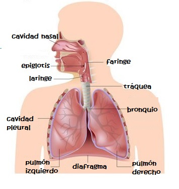 Sistema respiratorio para niños de primaria