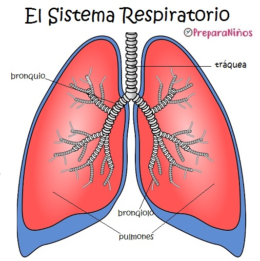 Sistema Respiratorio para Niños: Partes y Funciones - PreparaNiños.com
