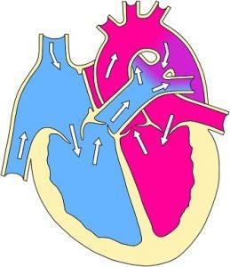 El corazón y sus partes: El Sistema circulatoro para niños