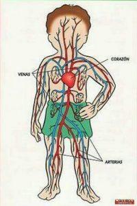 Partes del sistema circulatorio para niños y sus funciones