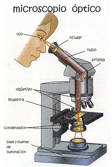 Qué es el microscopio óptico. Partes del Microscopio