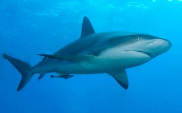 Tiburon animal viviparo u oviparo