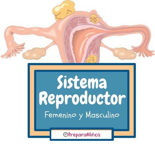El sistema reproductor femenino y masculino: Resúmen para niños