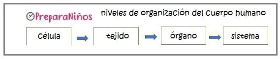 Niveles de Organización del cuerpo humano para niños