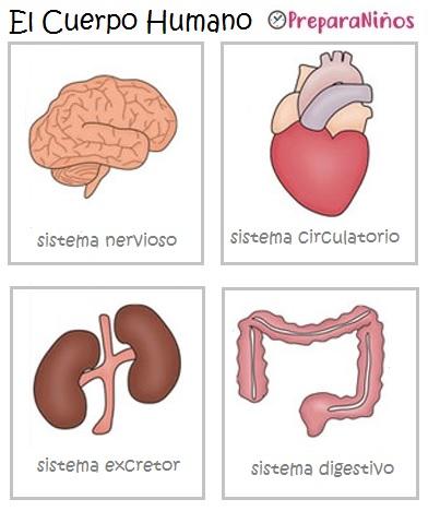 El Cuerpo Humano para Niños: Órganos y Funciones