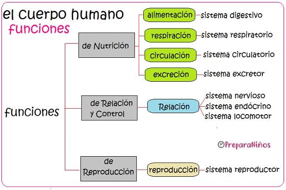 El cuerpo humano y sus funciones para niños