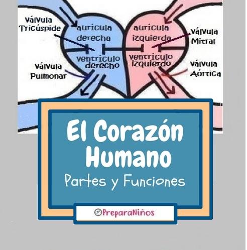 El Corazón Humano para niños: Partes y Funciones - PreparaNiños.com