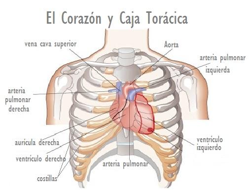 Dónde está el Corazón humano? Corazón y caja Torácica