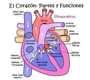 El Corazón y sus partes internas para niños