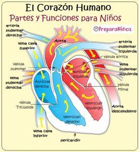 El corazón y sus partes para niños