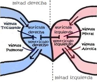 Esquema del corazón Humano