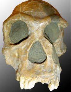 Fosil de Homo habilis