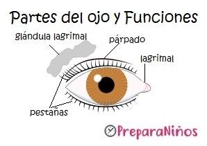 Partes del ojo: Los órganos de los sentidos para niños