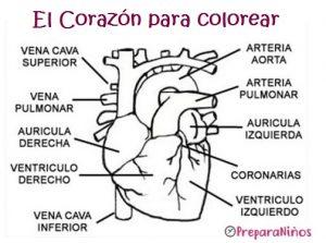 El corazón y sus partes para niños para colorear
