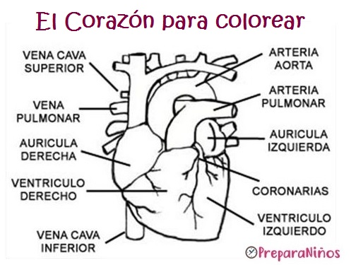 Sistema Circulatorio para Niños: Partes. Relación con sistema Digestivo