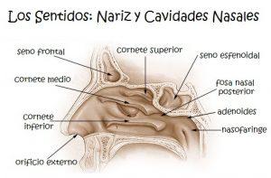 Los sentidos para niños: La nariz y cavidades nasales