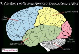 El Sistema Nervioso para niños : Cerebro Explicación para primaria