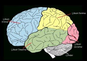Sistema Nervioso para Niños: Los Lóbulos del cerebro