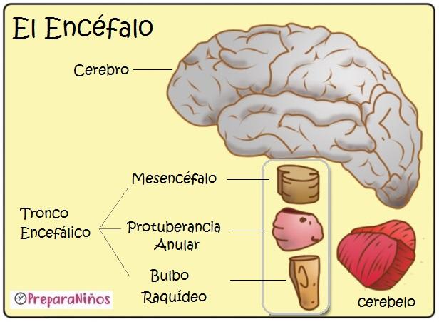 Sistema Nervioso Humano para niños: El Encéfalo