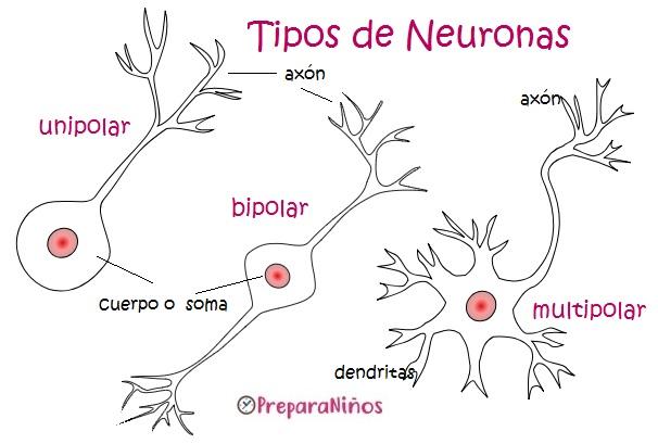 Las neuronas y el sistema nervioso humano para niños