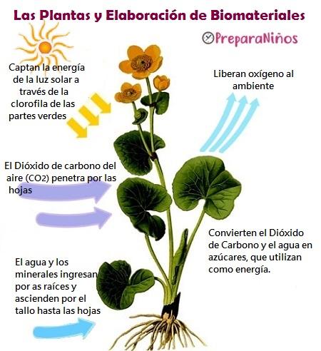 Plantas organismos autótrofos