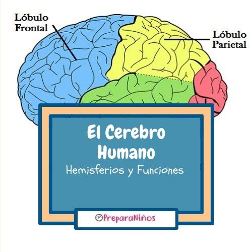 El cerebro Humano explicación para niños