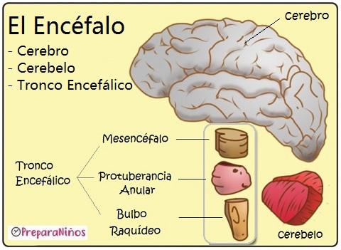 El Cerebro Humano y el encéfalo