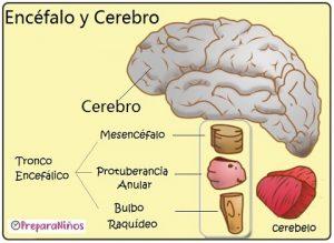Encéfalo y cerebro ¿son lo mismo?