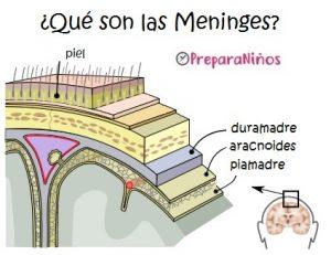 El cerebro y las meninges