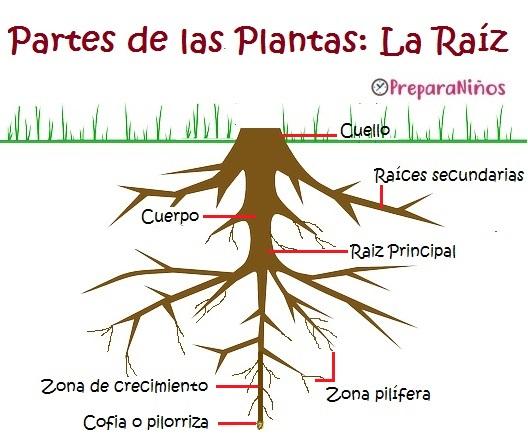 Las Raíz y sus funciones para niños de escolar