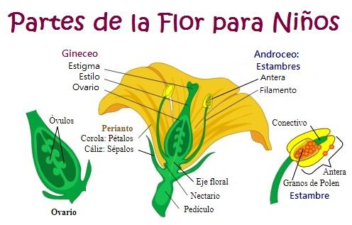 Partes de la flor para Niños