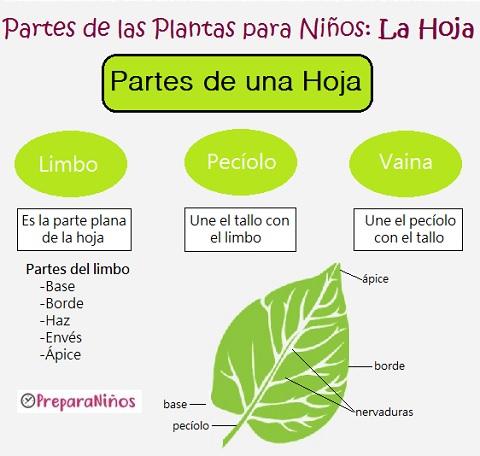 Las Plantas Y Sus Partes Para Niños De Primaria Fotosíntesis