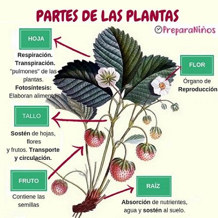 Funciones de las partes de las Plantas