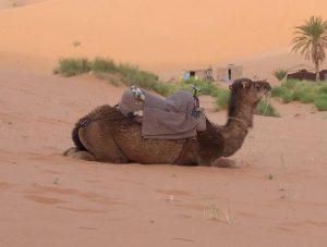 Animales en el Sahara