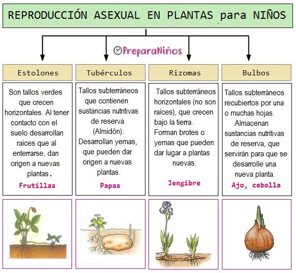 Reproducción Asexual en las plantas para Niños