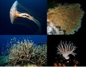 Animales Invertebrados: Cnidarios. (medusa, gorgona, coral, anémona)