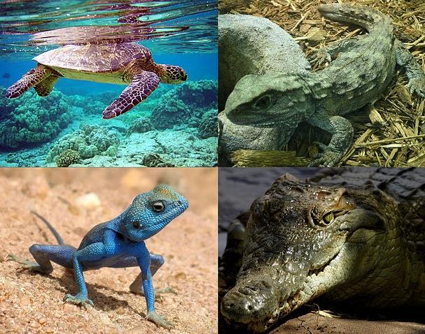 Animales Vertebrados para niños: Reptiles características